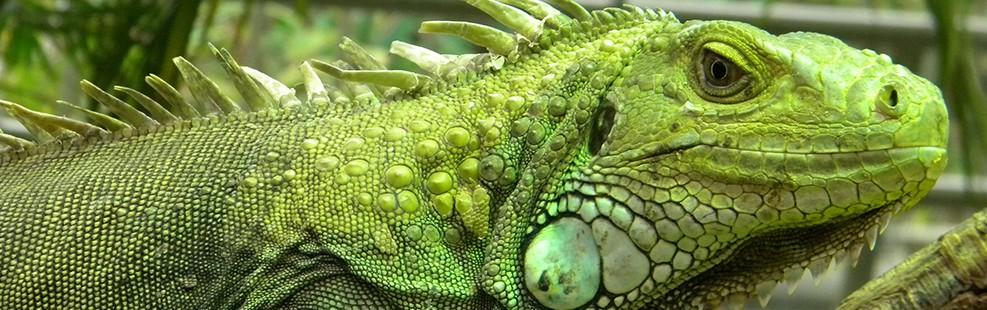 iguana motril